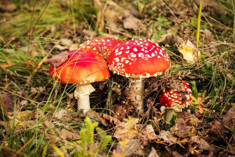 Cogumelos, agaric de mosca ou muscaria venenoso vermelho do amanita imagens de stock royalty free