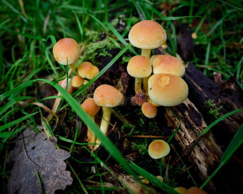Cogumelos alaranjados, cogumelos venenosos encontrados na madeira foto de stock royalty free