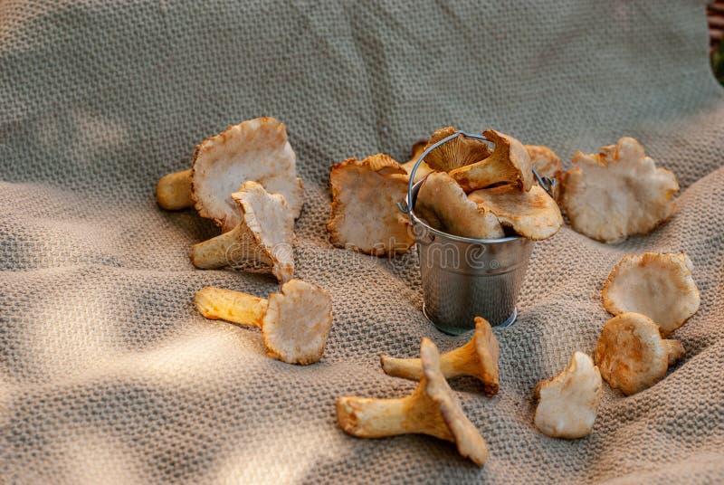 Cogumelos amarelos da floresta da prima recolhidos no verão em uma cubeta pequena da lata fotografia de stock royalty free