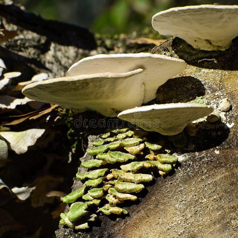 Cogumelos brancos & verdes em um log cortado imagens de stock