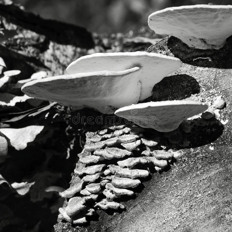 Cogumelos brancos & verdes em um log cortado B&W fotografia de stock