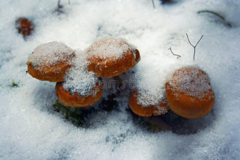 Cogumelos brilhantes congelados fotos de stock royalty free