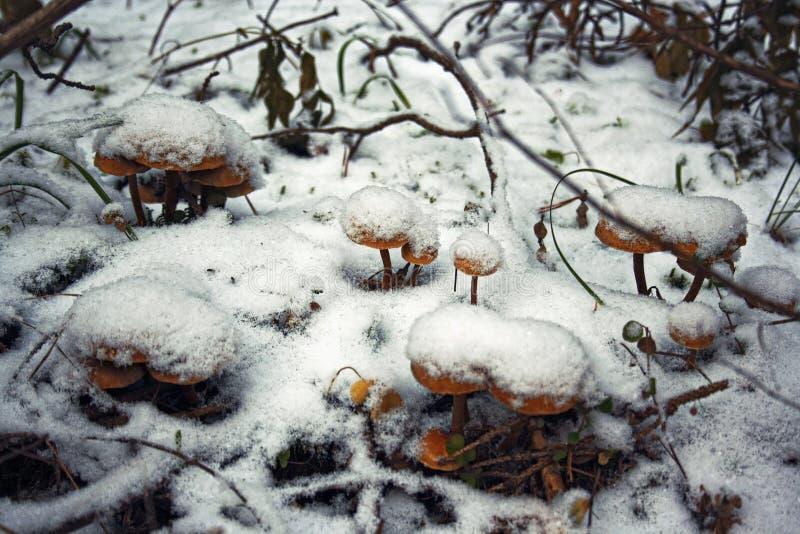 Cogumelos brilhantes congelados fotos de stock