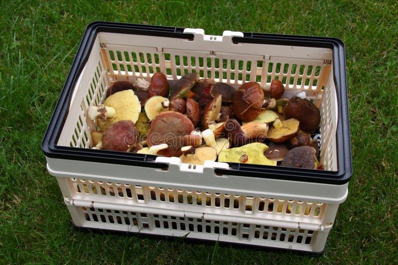 Cogumelos comestíveis do outono imagem de stock