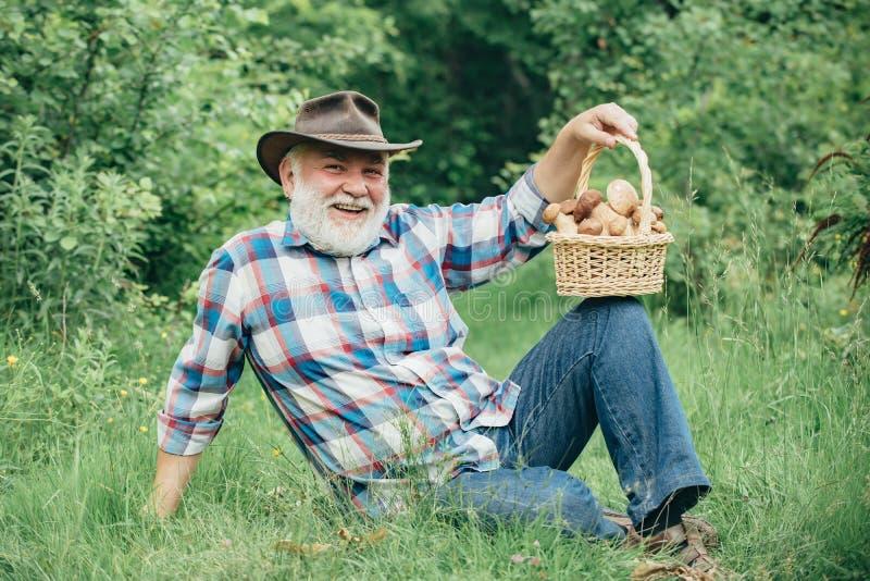 Cogumelos da colheita Cogumelo na floresta, homem superior que recolhe cogumelos no sênior da floresta que escolhe bagas selvagen fotos de stock royalty free