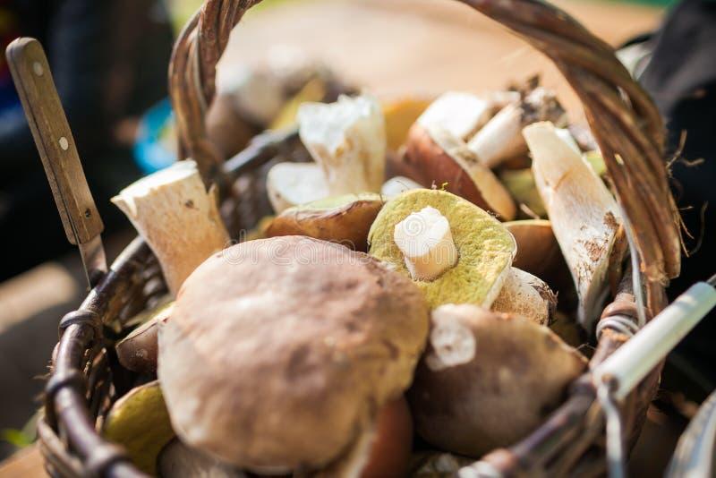 Cogumelos da colheita da floresta na cesta wickered Cru fresco na tabela porcini ou cogumelo branco foto de stock