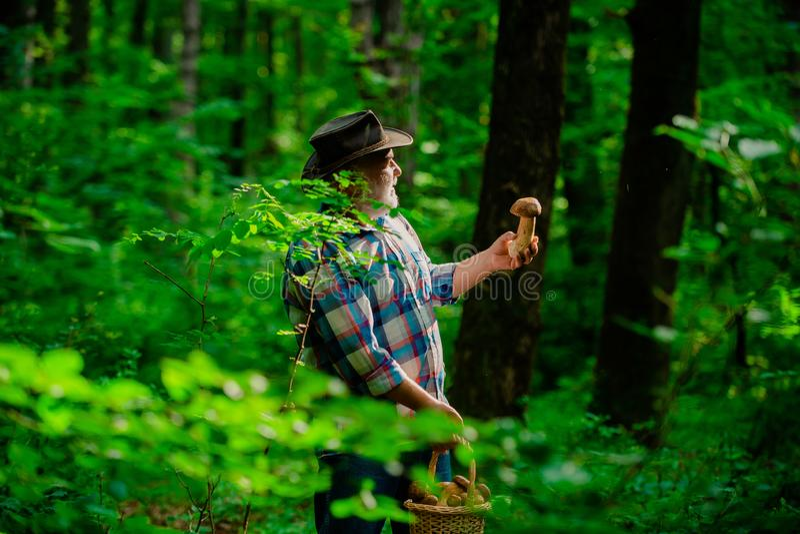 Cogumelos da colheita Pensionista do vov? Caminhada superior no avô feliz da floresta Recolhendo cogumelos selvagens fotografia de stock royalty free
