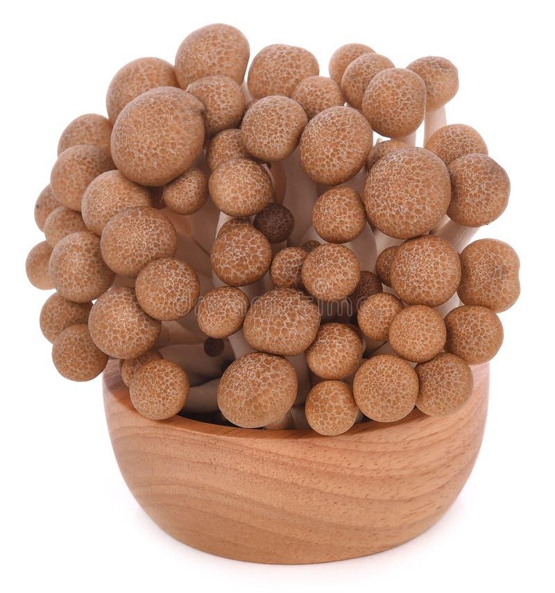 Cogumelos da faia de Brown isolados no fundo branco fotografia de stock royalty free