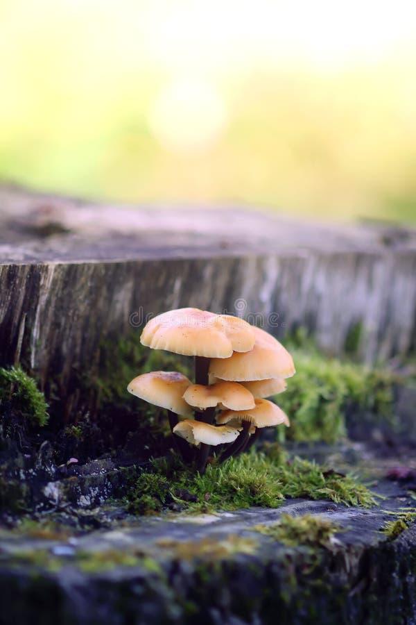 Cogumelos da floresta no coto de ?rvore com musgo Mushrrom do agaric do mel imagem de stock royalty free