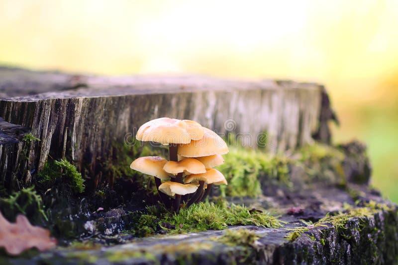 Cogumelos da floresta no coto de ?rvore com musgo Mushrrom do agaric do mel imagens de stock royalty free
