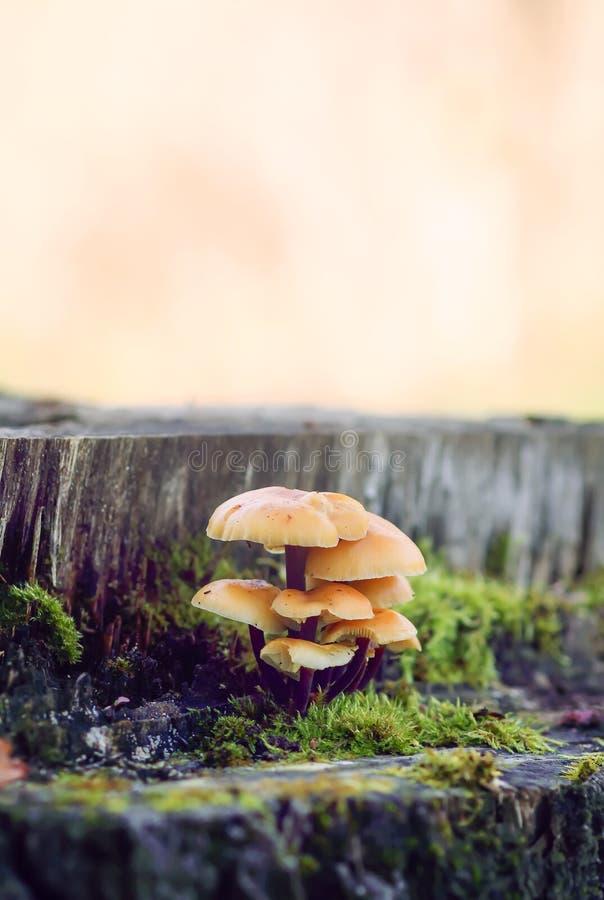 Cogumelos da floresta no coto de ?rvore com musgo Mushrrom do agaric do mel fotografia de stock royalty free