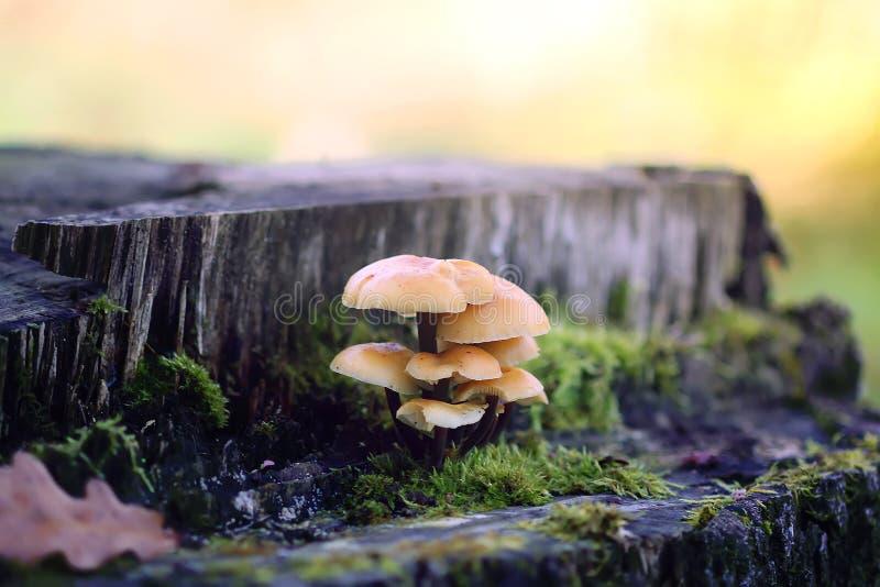 Cogumelos da floresta no musgo do stumpwith da árvore Mushrrom do agaric do mel foto de stock