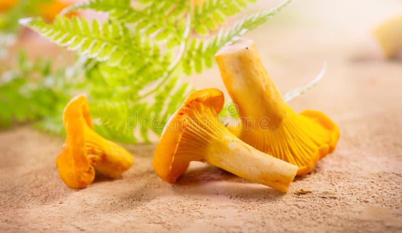 Cogumelos da prima Close up selvagem fresco das primas no fundo rústico Fundo org?nico da prima em uma tabela foto de stock