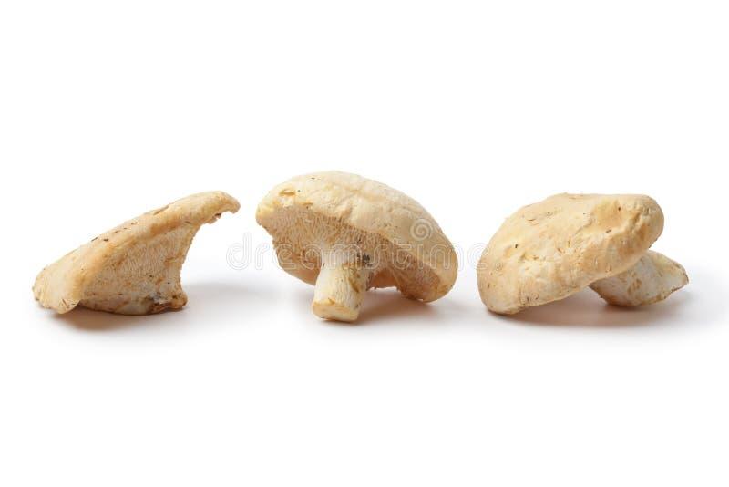 Cogumelos de madeira do hedgehog fotografia de stock royalty free
