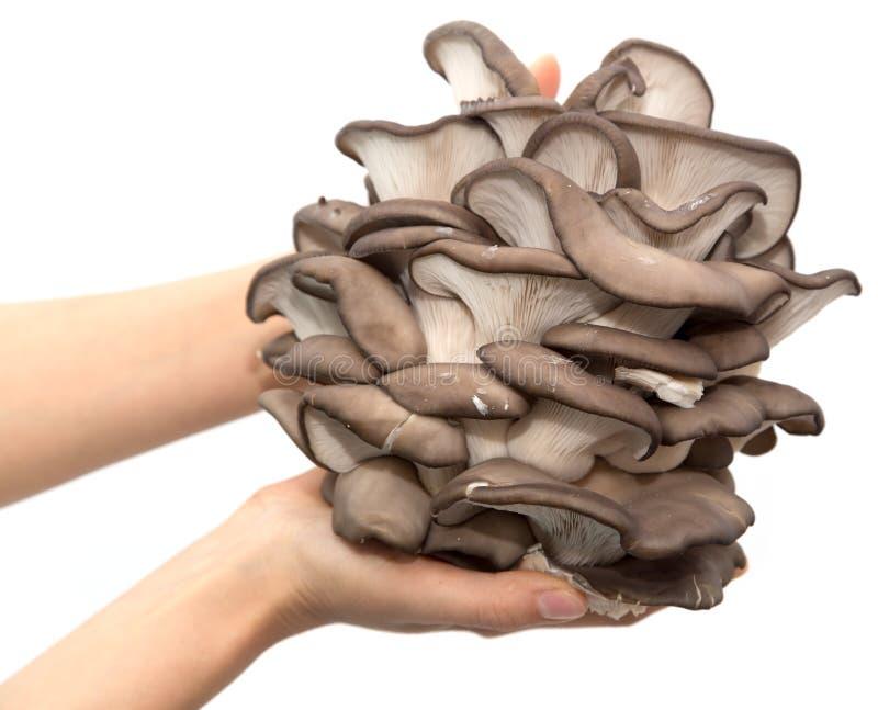 Cogumelos de ostra em uma mão em um fundo branco imagem de stock