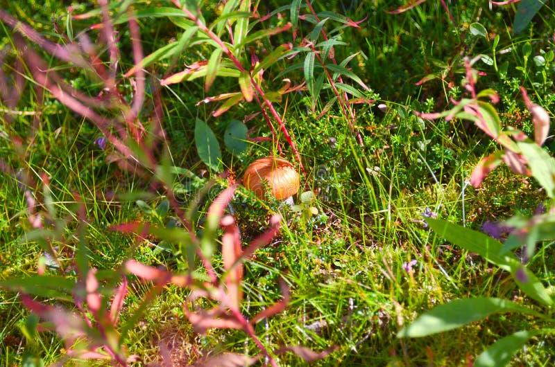Cogumelos do álamo tremedor dos cogumelos na floresta da tundra do outono foto de stock royalty free