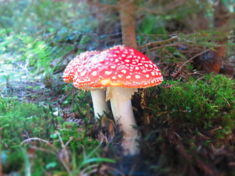 Cogumelos do agaric de mosca imagem de stock
