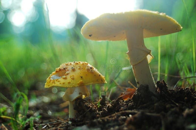 Cogumelos do amanhecer foto de stock