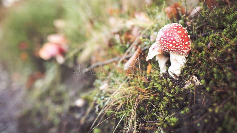 Cogumelos do amanita escondidos na grama fotos de stock royalty free