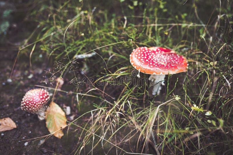 Cogumelos do amanita escondidos na grama fotografia de stock