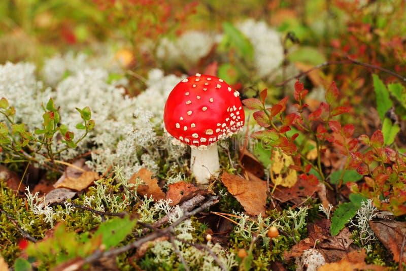 Cogumelos do outono na floresta de Finlandia foto de stock royalty free