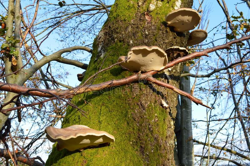 Cogumelos do polypore do vidoeiro foto de stock