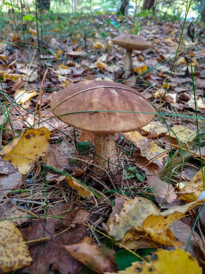 Cogumelos e arandos da colheita na floresta no outono adiantado Últimos dias de verão ensolarados Os cogumelos e as bagas crescem imagens de stock