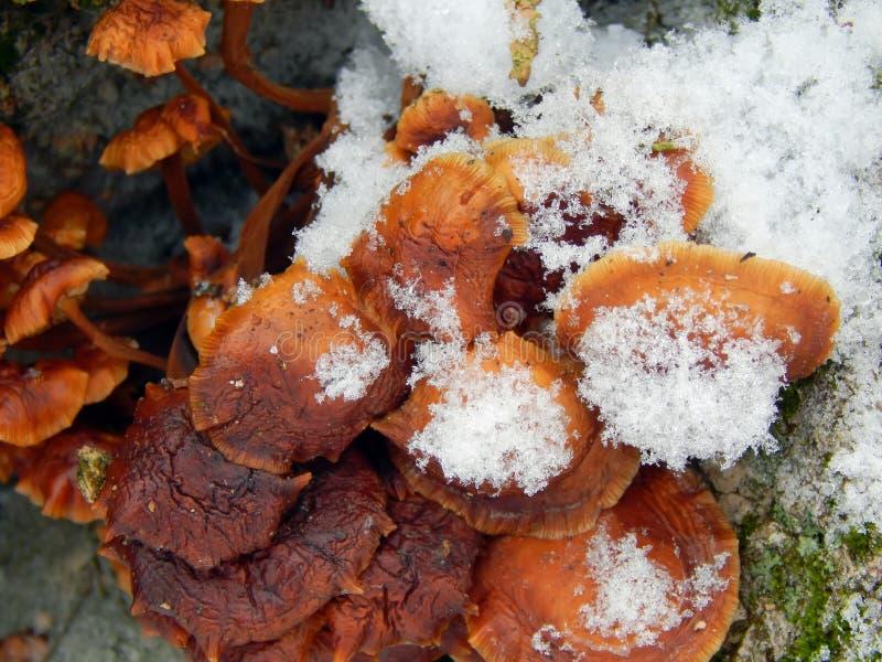 Cogumelos em uma árvore na neve foto de stock