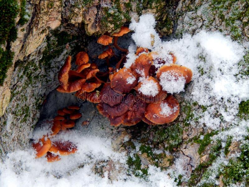 Cogumelos em uma árvore na neve fotografia de stock royalty free
