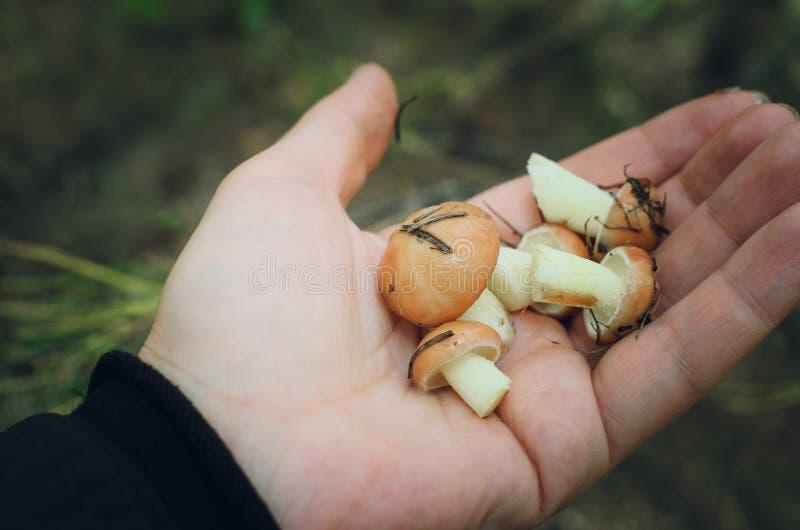 Cogumelos em uma palma fotografia de stock