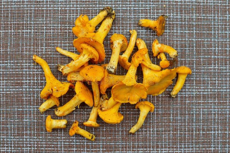 Cogumelos frescos amarelos do outono para fritar para o jantar fotografia de stock royalty free