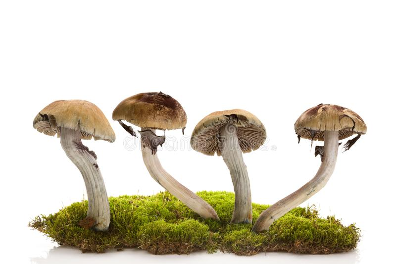 Cogumelos mágicos frescos no musgo isolado sobre o fundo branco fotografia de stock