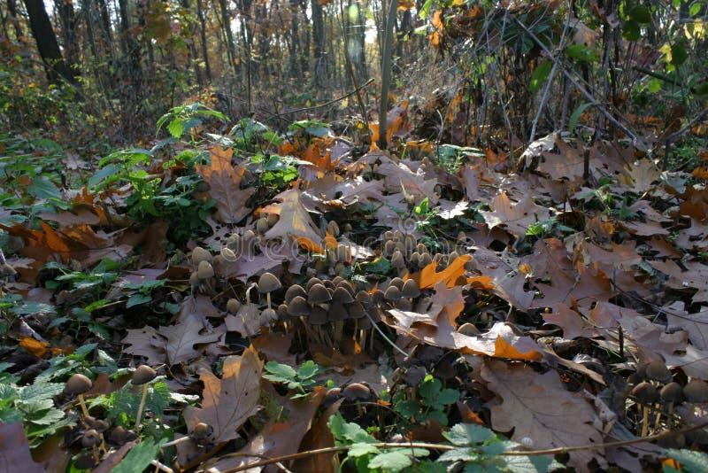 Cogumelos na floresta 01 do outono fotografia de stock royalty free