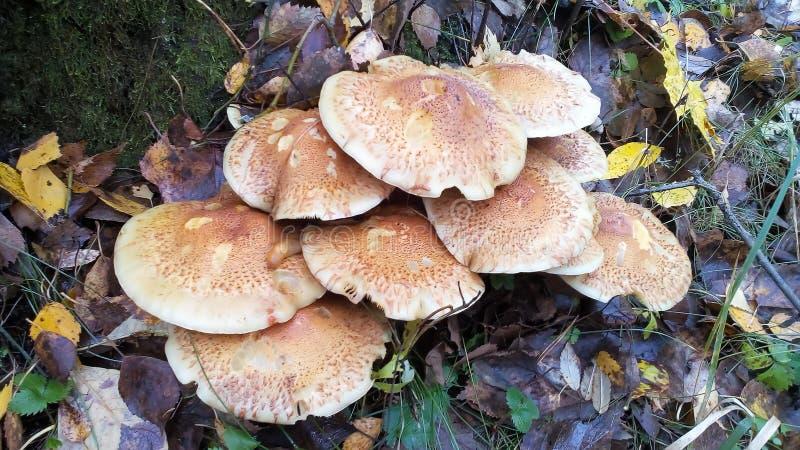 Cogumelos na floresta do outono fotos de stock royalty free