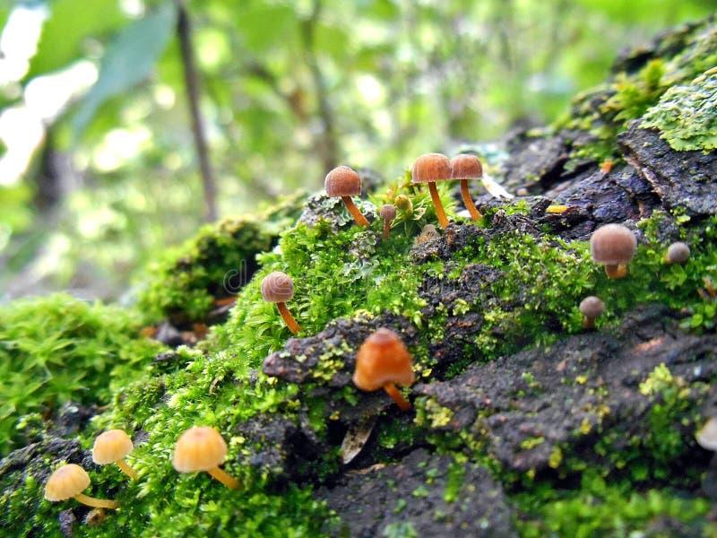 Cogumelos nas Amazonas bolivianas fotografia de stock royalty free