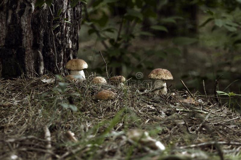 Cogumelos nas madeiras foto de stock