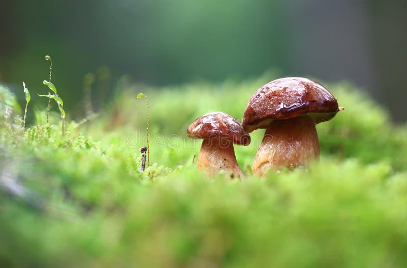 Cogumelos pequenos após a chuva fotos de stock royalty free