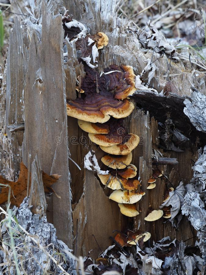 Cogumelos que crescem em um coto imagens de stock