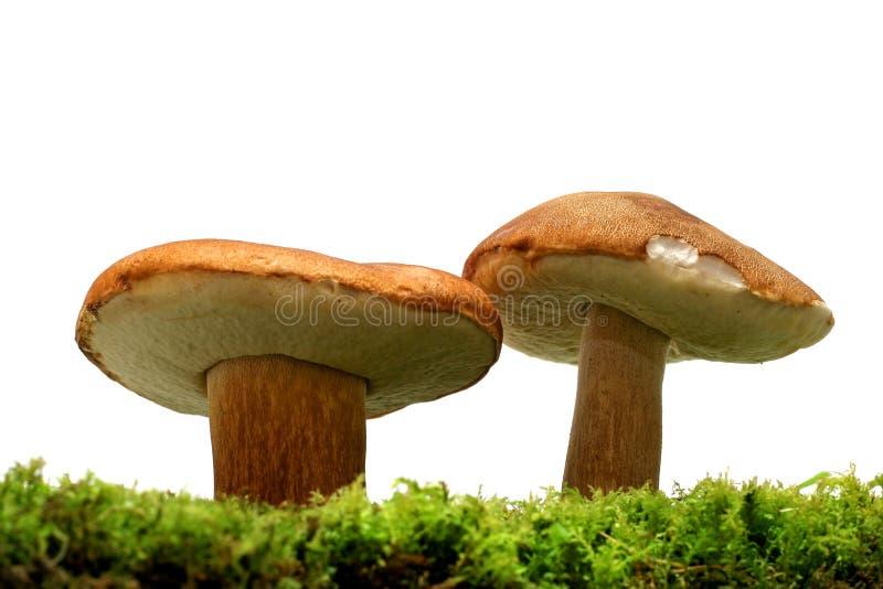 Cogumelos selvagens foto de stock royalty free