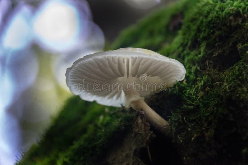 Cogumelos selvagens brancos e translúcidos preciosos na terra da madeira fotografia de stock