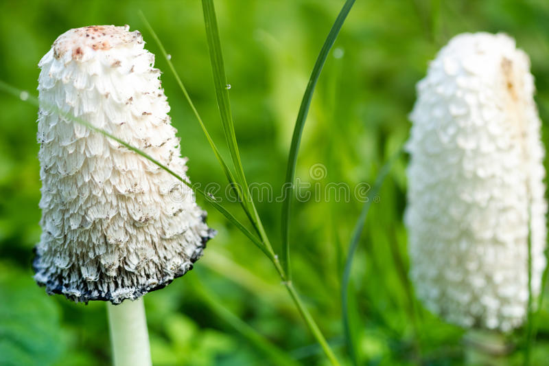 Cogumelos selvagens da floresta imagens de stock