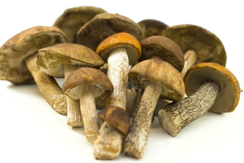 Cogumelos selvagens frescos no fundo branco imagens de stock