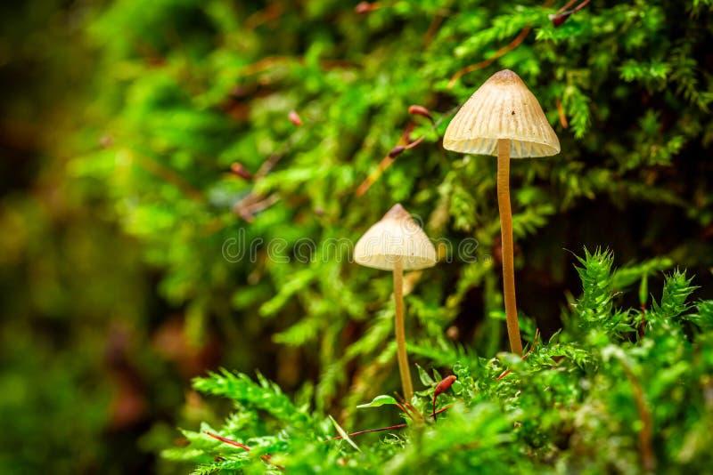 Cogumelos selvagens maravilhosos que crescem no musgo verde imagem de stock