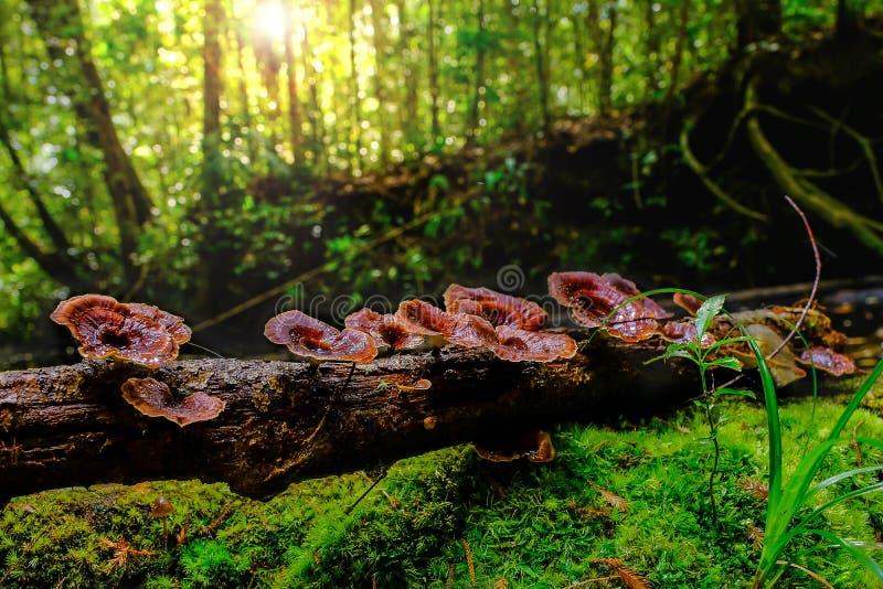 Cogumelos selvagens vermelhos que crescem na madeira em florestas tropicais Tailândia fotografia de stock royalty free