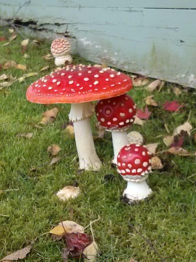 Cogumelos venenosos do amanita foto de stock royalty free