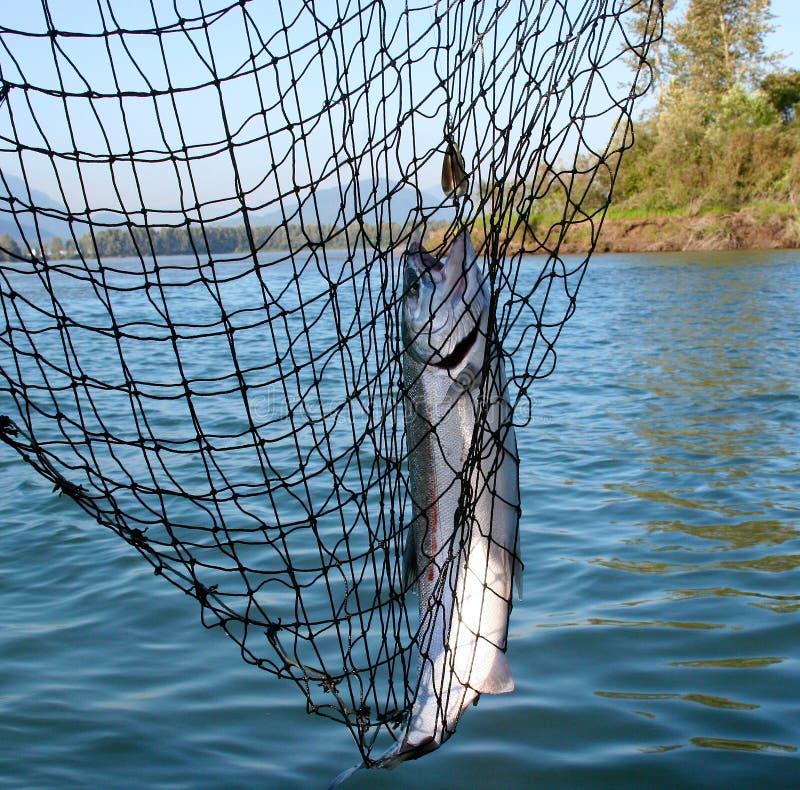 Download Coho salmon stock image. Image of close, recreation, fishing - 22305537