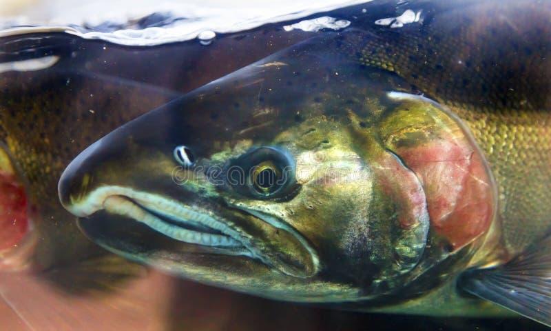 Coho Salmon Close Up Issaquah Hatchery Washington State de Chinook fotografia de stock royalty free