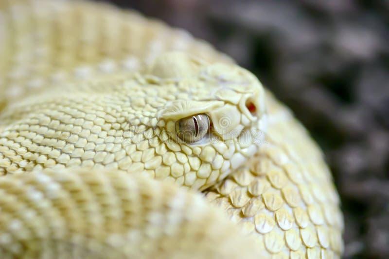 Coiled albino snake eye stock image