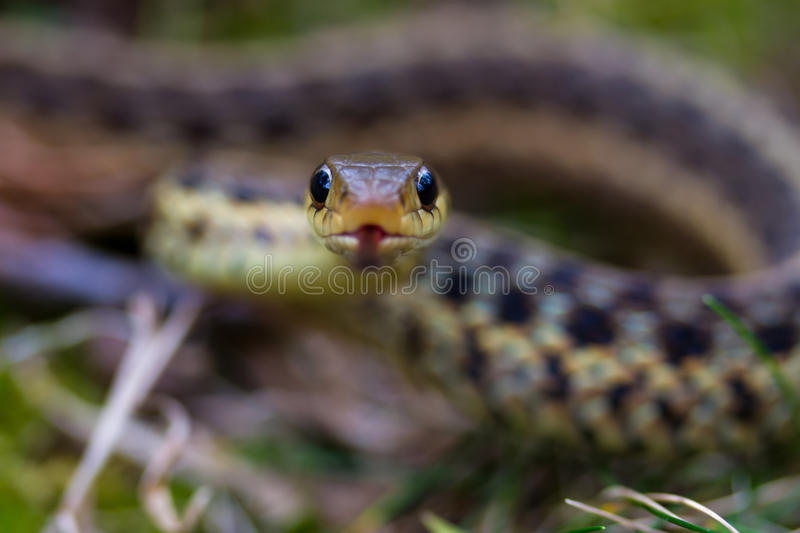 Coiled Garter Snake royalty free stock image