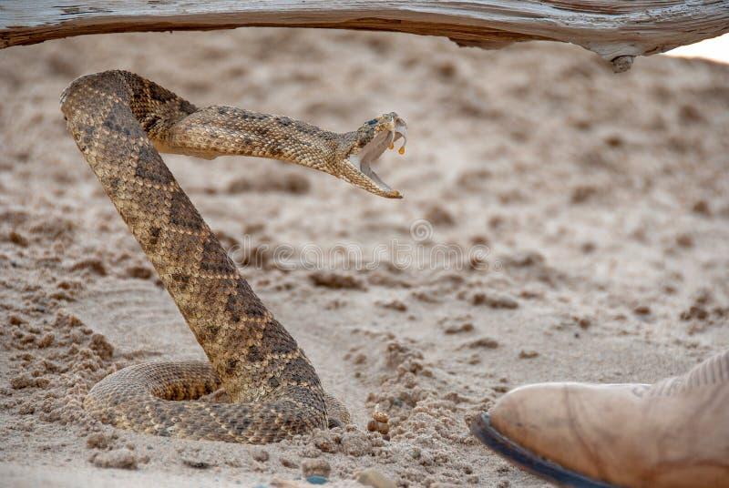 Coiled grzechotnik w piasku zdjęcia stock